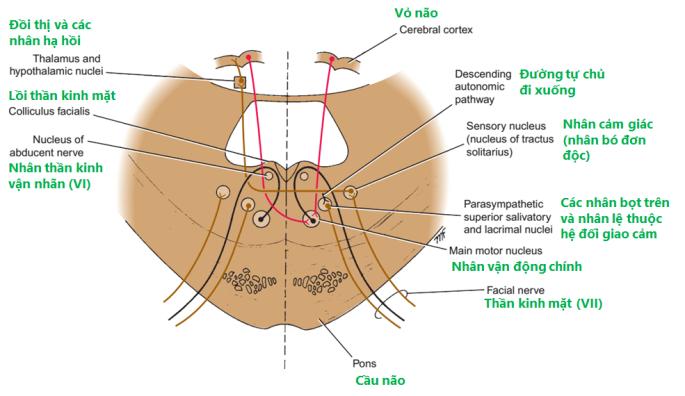 Hình 11-11 Các nhân thần kinh mặt và các tiếp nối trung ương của thần kinh mặt
