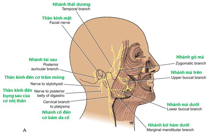 Hình 11-12 A: Sự phân bố của thần kinh mặt.